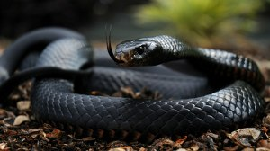 The Black Mamba is the fastest snake on earth. One bite from this snake has enough venom to theoretically kill 10 humans.